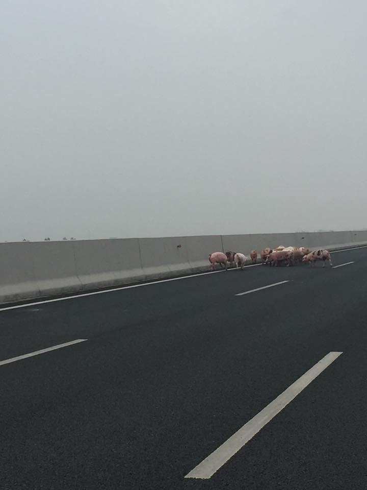 Lật xe tải chở lợn trên cao tốc 5B: Người mải sửa xe, đàn lợn chạy tung tăng giữa đường
