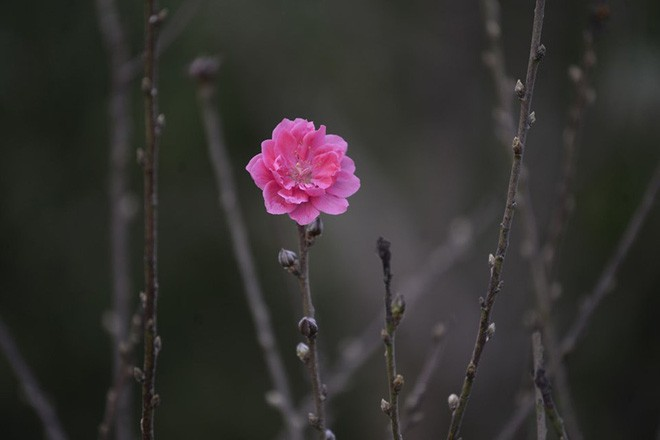 Đột nhập vườn đào Nhật Tân, ngắm hoa đào nở sớm, đẹp lung linh dưới nắng đông dù Tết còn 2 tháng