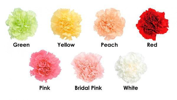 Cách trồng và chăm sóc hoa cẩm chướng nở đẹp vào đúng dịp Tết