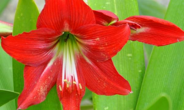 Hoa huệ đỏ trổ bông rực rỡ đúng dịp Tết nhờ cách phơi củ cực đơn giản