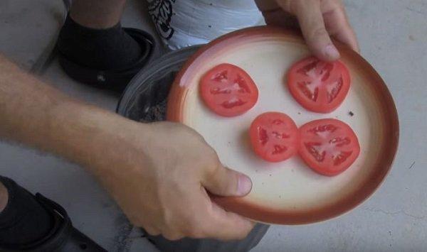 Lạ đời cách trồng cà chua thái miếng chỉ mất vài phút, sau được cả vườn cà chua sai trĩu