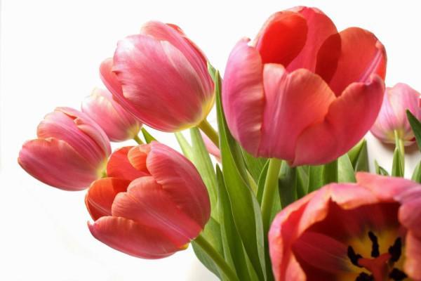 Hoa tulip nở rực đúng dịp Tết nhờ biết cách chọn củ và bón thúc đơn giản không ngờ