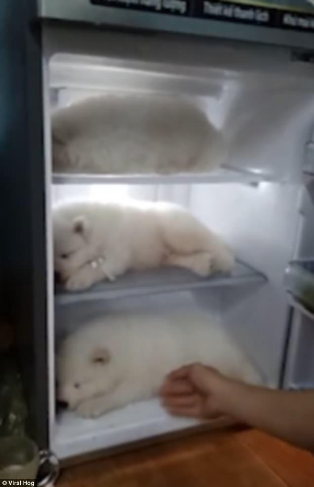 Clip thanh niên Việt Nam cho 3 chú chó con vào tủ lạnh tránh nóng lên báo nước ngoài
