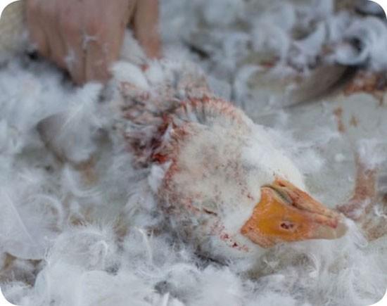 Sự thật tăm tối đằng sau những chiếc áo lông vũ ấm áp mùa đông