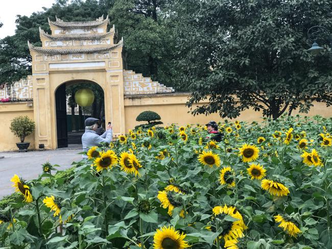 Ảnh: Ngay Hoàng thành Thăng Long có vườn hoa hướng dương đẹp nức nở