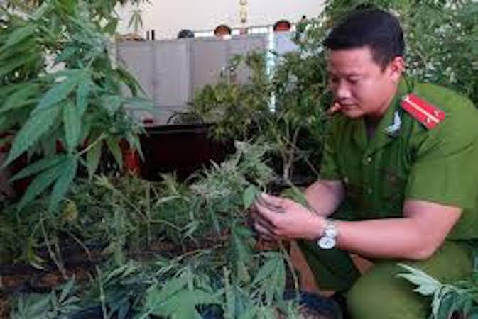 Vũng Tàu: Phát hiện một người nước ngoài trồng cây cần sa trong nhà