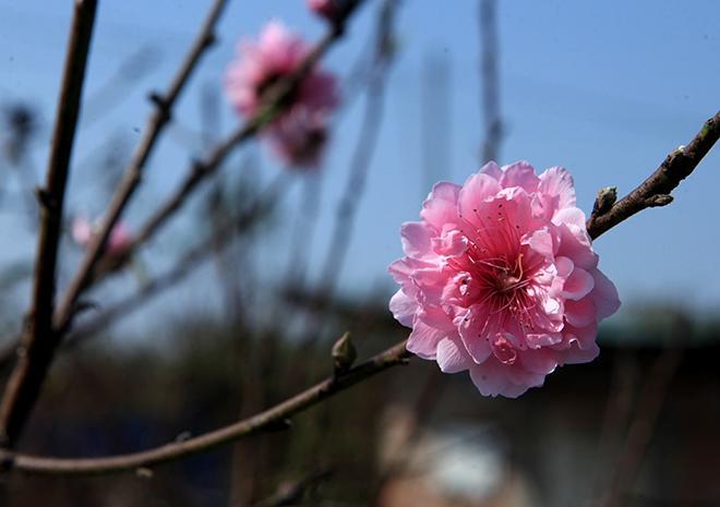 Cách chọn và chăm đào nhiều hoa, nở đúng dịp Tết bất chấp thời tiết thất thường