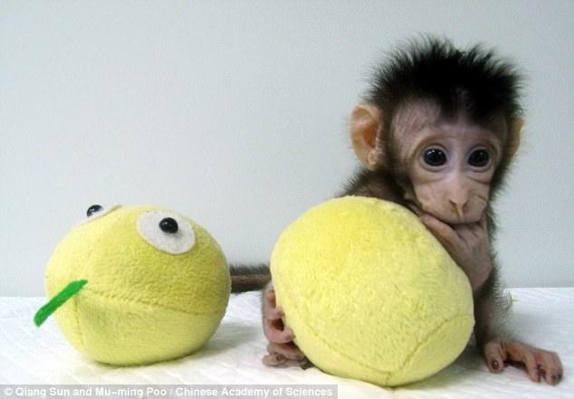 TQ nhân bản thành công khỉ, tiến gần tới nhân bản người