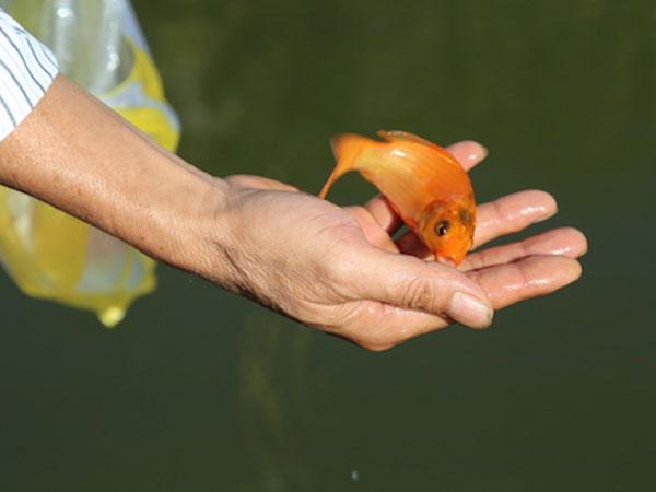 Nên thả cá chép thật hay cá chép giấy để tiễn ông Công ông Táo
