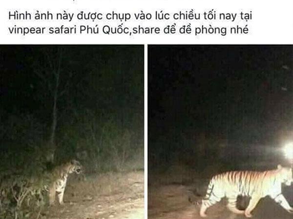 Phú Quốc bác thông tin hổ xổng chuồng tại Vinpearl Safari
