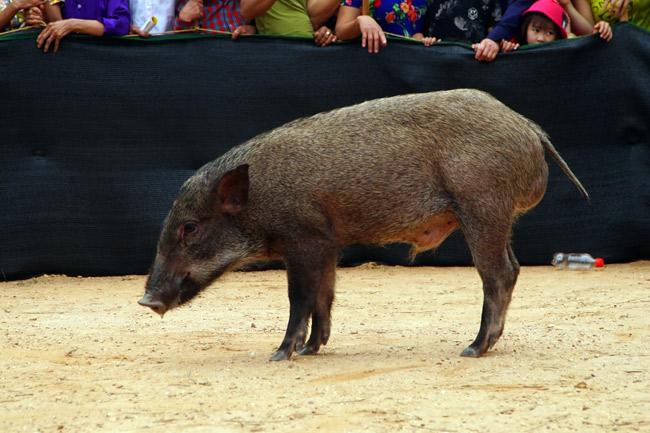 Ảnh, clip: Ôm bụng cười xem nam nữ bịt mắt bắt lợn rừng ở Bắc Giang