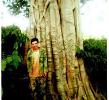Một trong 3 cây đa khổng lồ có hồ sơ không đúng thực tế