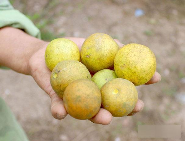 4.000 đồng/1 quả chanh, người dân đi mót từng quả vẫn không có mà bán