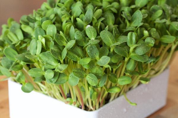 Tự trồng rau mầm hướng dương giòn bùi, 2 tuần là có rau ăn tẹt ga ai cũng mê