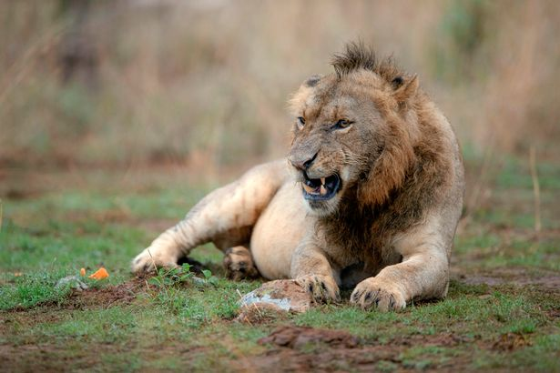 Sư tử có kiểu tóc ăn chơi gây sốt mạng
