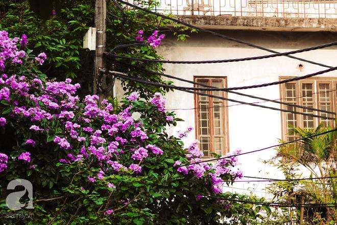 Lại một mùa bằng lăng về trên phố tím biếc, dịu dàng báo hè sang