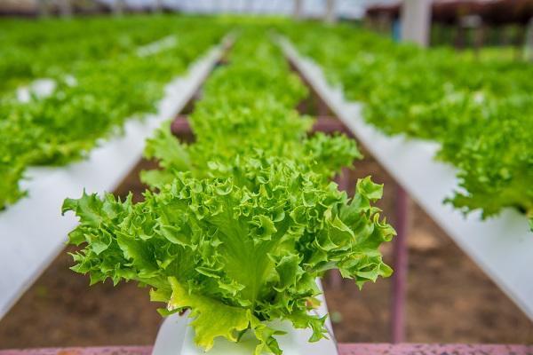 Nhà chật mà vẫn muốn ăn rau sạch, học ngay cách trồng rau thủy canh vừa sạch vừa nhàn