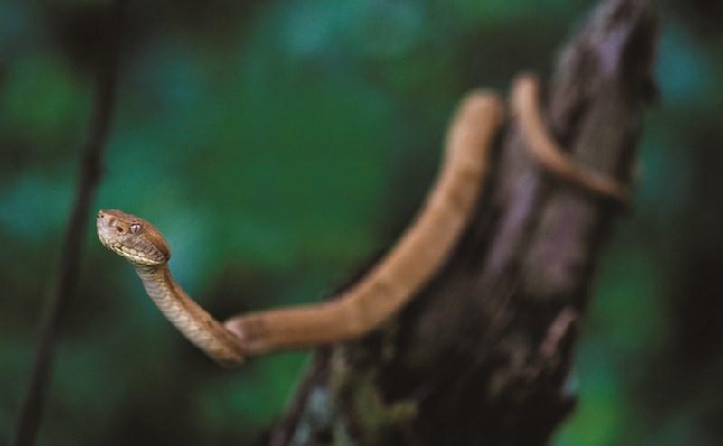 Loài mãng xà vàng óng có kịch độc tan xương nát thịt trên đảo cấm