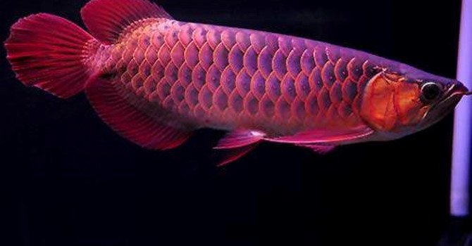 Con cá rồng chục ngàn USD: Thú chơi ông hoàng của đại gia Việt
