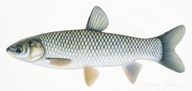 Kỳ lạ cá trắm cỏ có đầu giống chim bồ câu