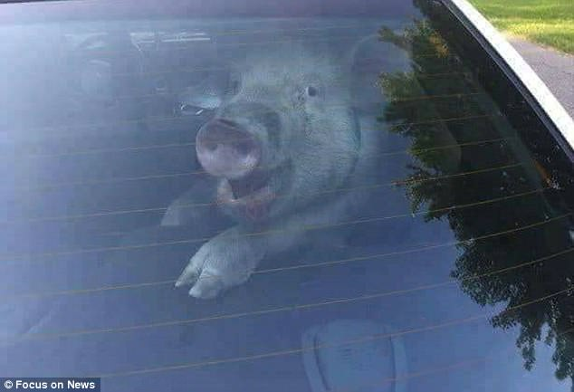 Xe chở hơn 100 con lợn bị lật, dân lao ra hôi của chất đầy xe