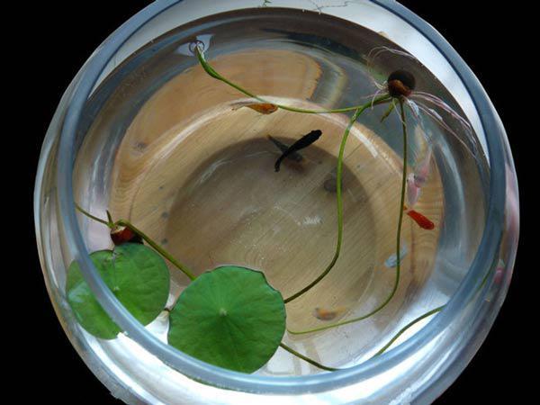 Mùa này trồng ngay sen Nhật mini, có cả hồ sen trong nhà thì còn gì bằng