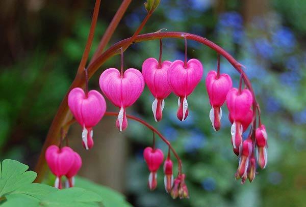 Cách trồng giàn hoa tigon đơn giản nhất, cho hoa nở rộ rực rỡ suốt 4 mùa