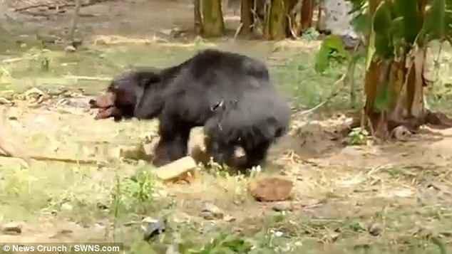 Clip: Gấu vào làng, tấn công điên cuồng khiến nhiều người chết và bị thương