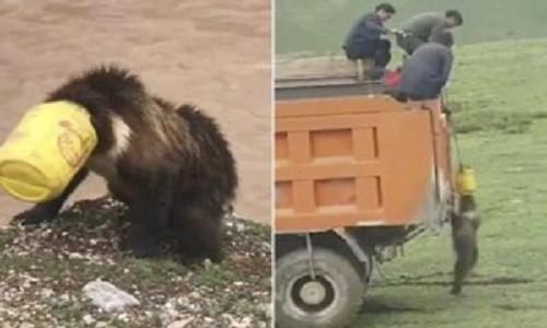 Cả làng dốc sức giải cứu gấu bị mắc kẹt trong xô