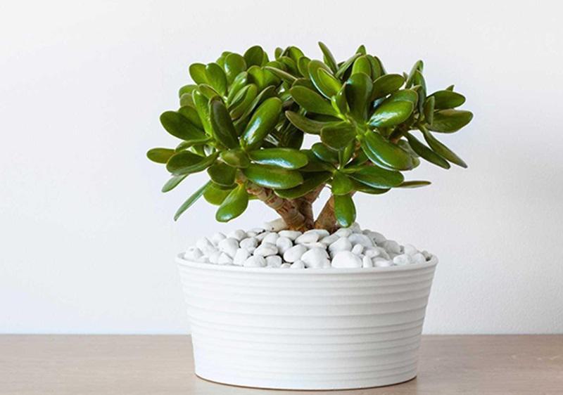 3 tháng cuối năm tiền tới ngập mặt chỉ cần bạn đặt loại cây này trong nhà