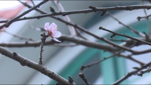 Đào rừng vượt 300km xuống phố, đợi ngày nở hoa đón Tết