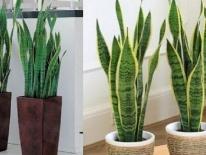 7 loại cây kiêng kỵ không nên trồng trong nhà để tránh tiêu tán tài lộc