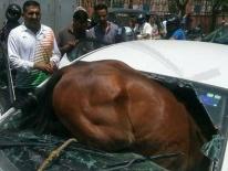 Ấn Độ: Nắng nóng kinh hoàng, ngựa phát điên lao qua cửa kính, chui vào ô tô đang đi trên đường