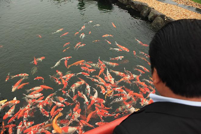 Chơi cây cảnh tiền tỷ chưa đã, đại gia nổi danh Thái Nguyên mua hẳn đá quý làm hồ cá Koi - 1