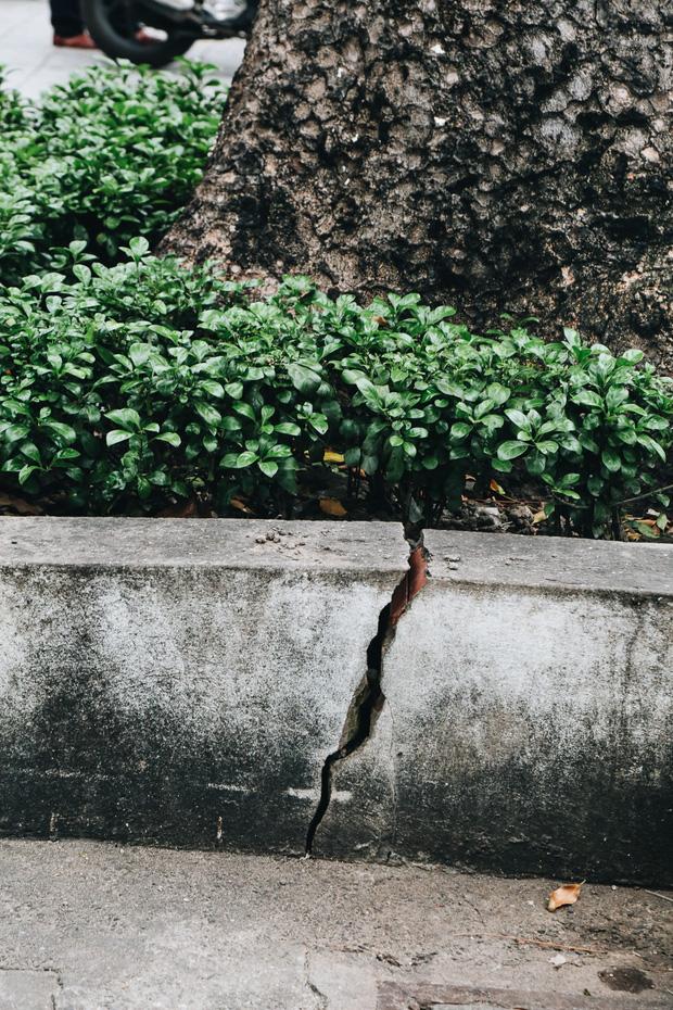 Sau vụ cây xanh bật gốc đè chết người: Vẫn còn nhiều cây đã già cỗi có rễ lộ thiên, nhánh vươn ra mặt đường ở Sài Gòn - 13