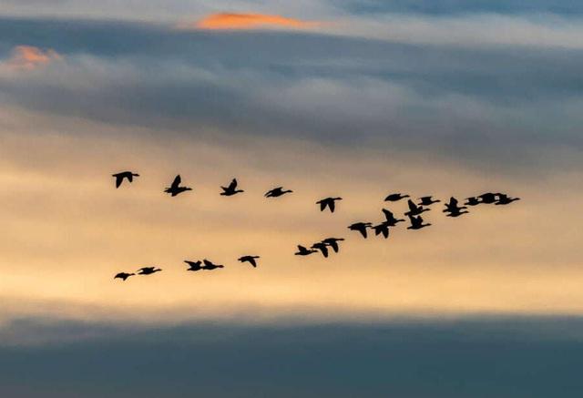 Vì sao loài ngỗng bay về phương nam trong mùa đông?