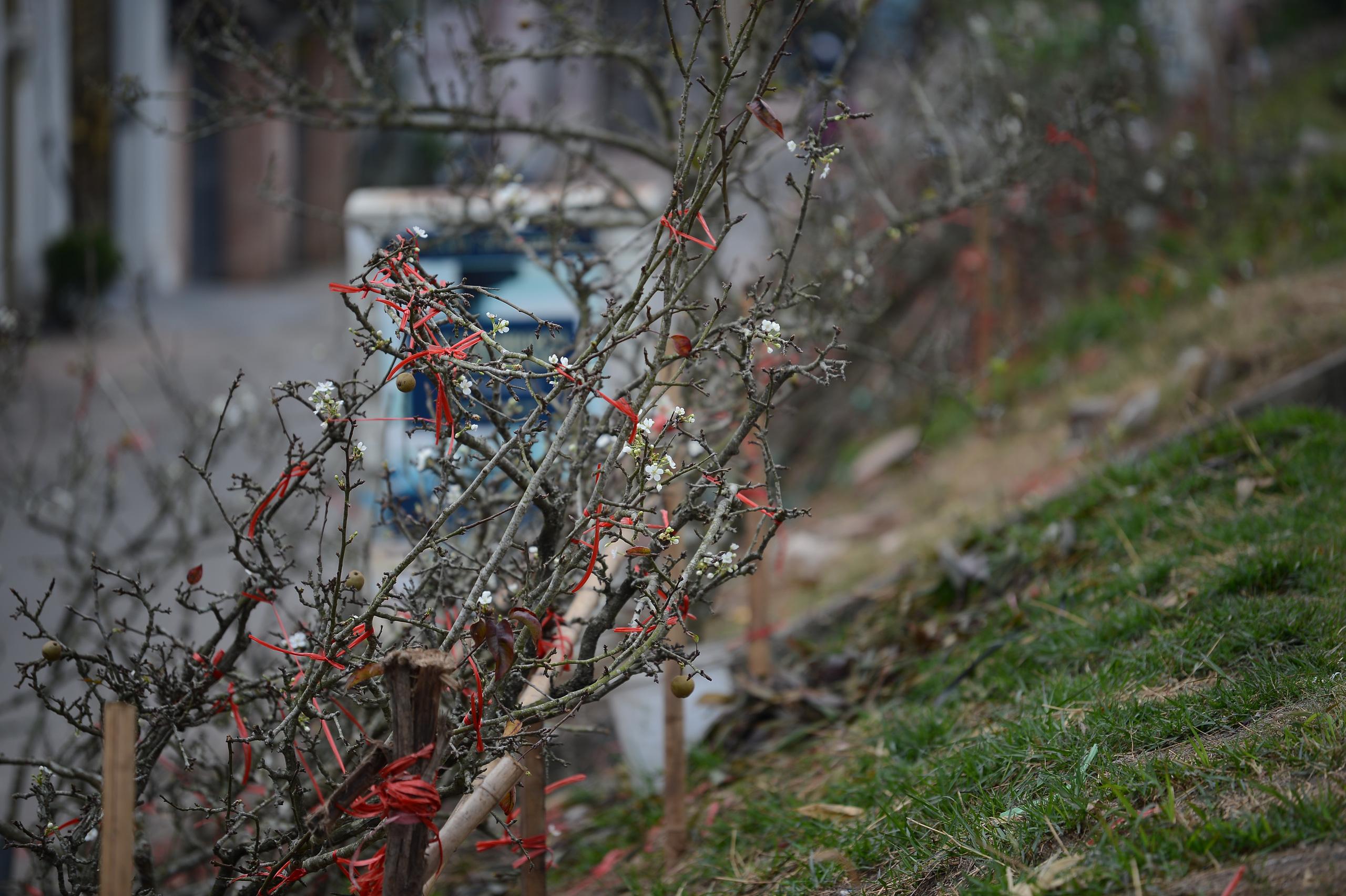 Hoa lê rừng xuống phố ngày đầu năm mới khiến người Hà Nội mê mẩn - 7