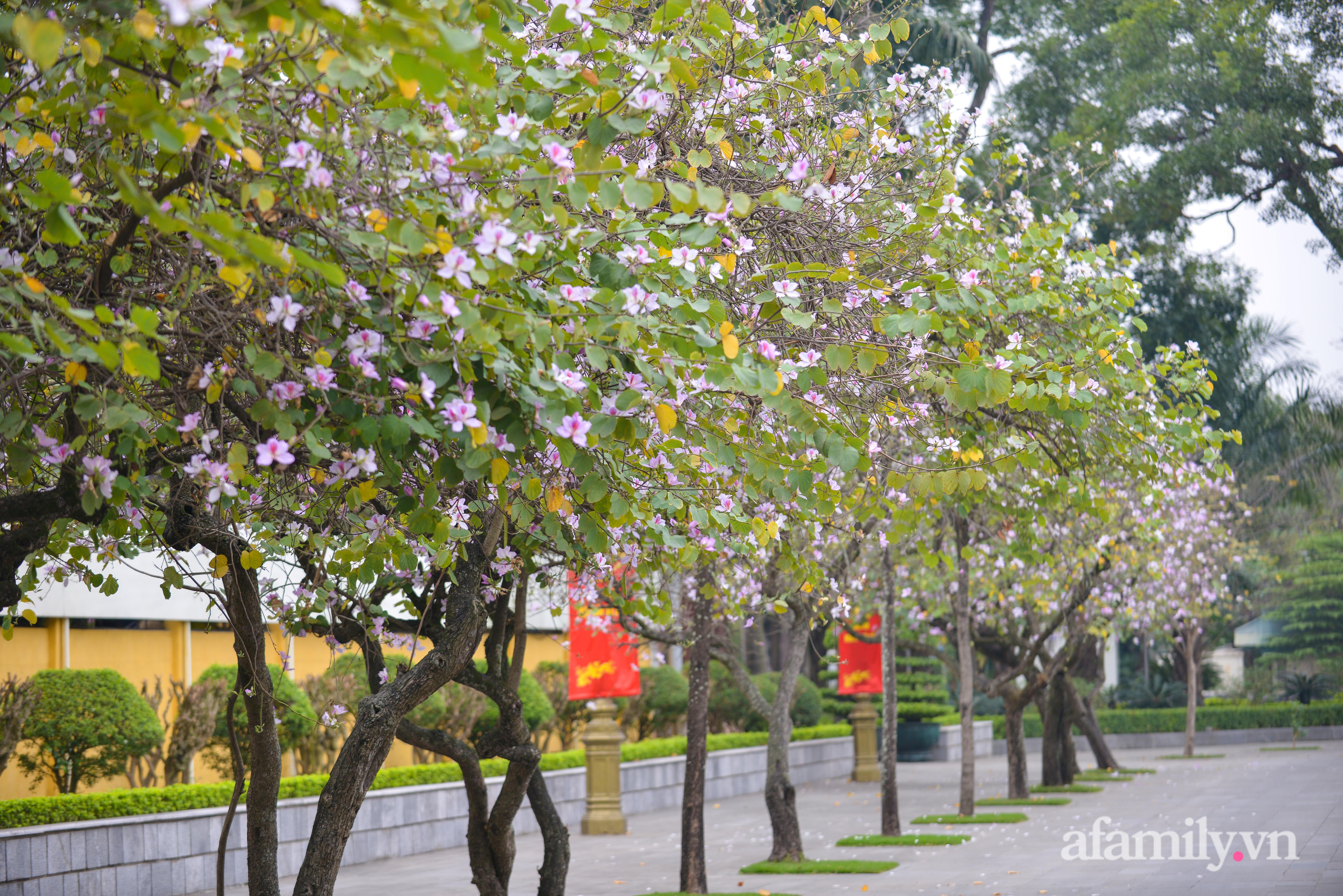 Ảnh: Hoa ban tím bung nở rực rỡ, bừng sáng khắp đường phố Hà Nội - 1