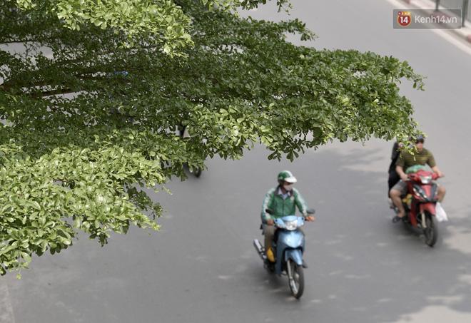Ảnh: Phong lá đỏ 'thất bại' và đây là những hình ảnh xanh mướt của bàng lá nhỏ - loại cây sẽ thay thế hàng phong trong tương lai - 10