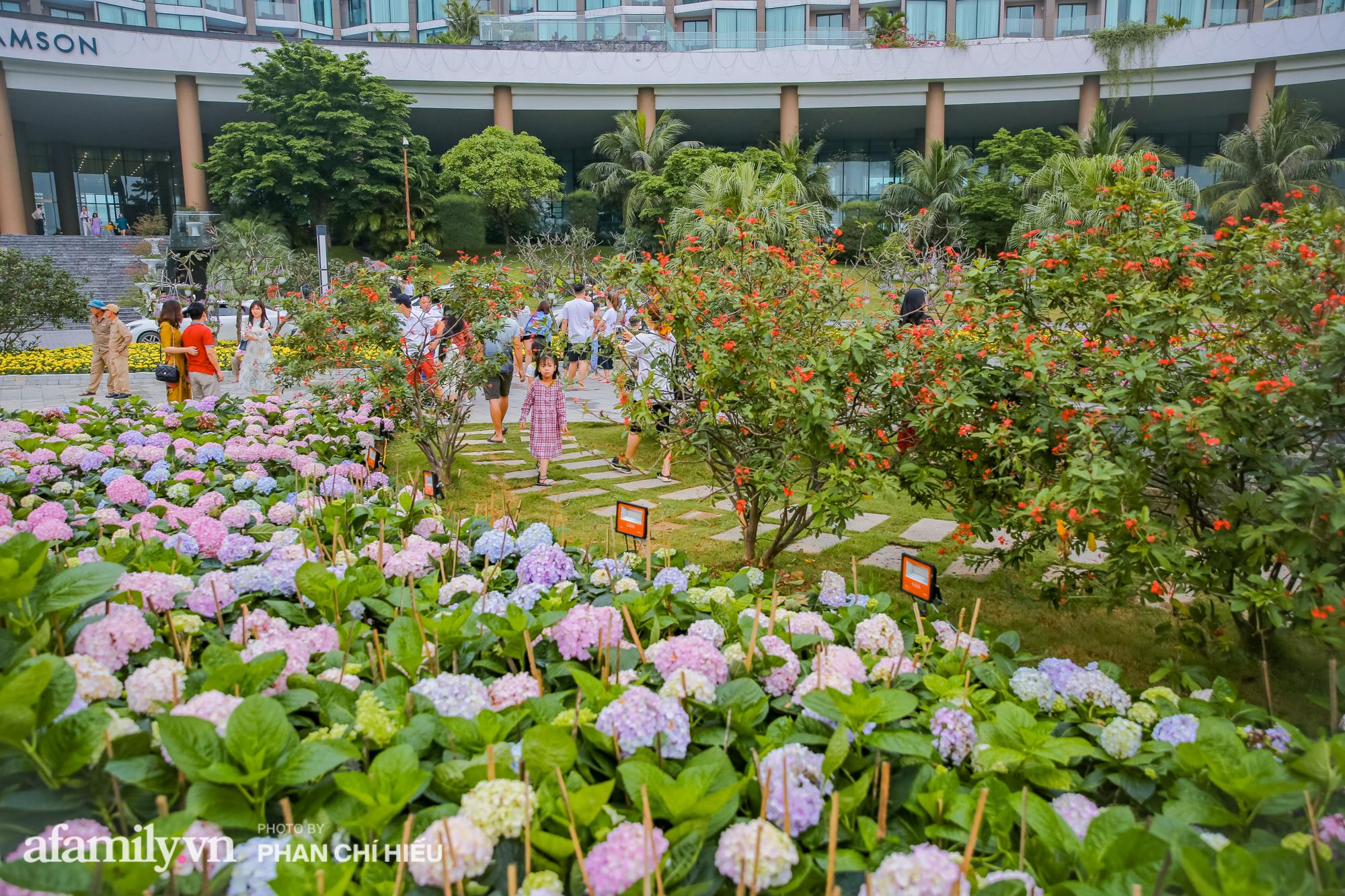 Vườn hoa cẩm tú cầu 'siêu to khổng lồ' ở Sầm Sơn hút hàng nghìn người tìm tới chụp ảnh vào cuối tuần, dù chưa Tết nhưng vẫn được chiêm ngưỡng pháo hoa bắn ngợp trời - 8