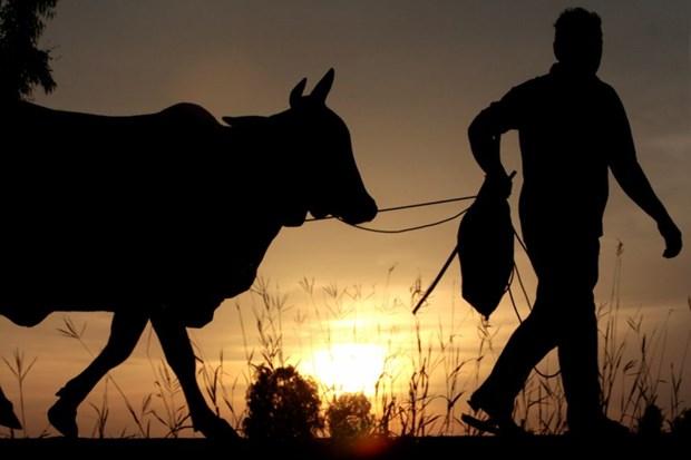 Thái Lan: Tiêm vaccine Covid-19 trúng bò và tiền mặt