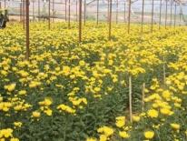 Nhà vườn Đà Lạt lỗ nặng vụ hoa Tết