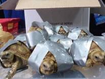 Hải quan Philippines giải cứu hơn 1500 rùa quý buôn lậu từ Hong Kong