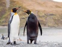 """Chim cánh cụt mắc bệnh lạ khiến da """"đổi trắng thay đen"""""""