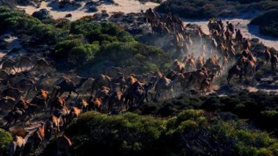 Úc giết 10.000 con lạc đà vì xâm chiếm đất đai và uống quá nhiều nước - 1