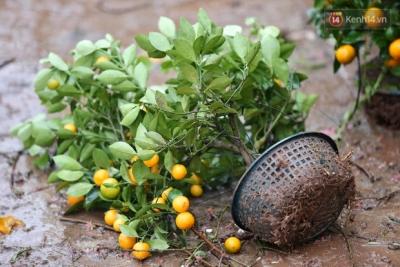 Hà Nội: Mưa gió chiều 30 Tết lại bị ép giá, người buôn đào quất quyết vặt trụi hoa quả và bỏ lại 'núi' rác - 9