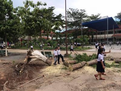 Bình Dương: Cây phượng trong sân trường bật gốc, ngã đổ ngay sau khi học sinh ra về - 1