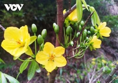 Mùa xuân lên núi thiêng, ngắm mai vàng Yên Tử - 4