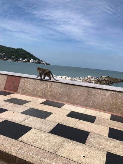 Clip: Khỉ đói ở Vũng Tàu xuống núi kiếm ăn bị điện giật nằm thoi thóp, người dân lập tức có hành động ai nhìn cũng mủi lòng - 4