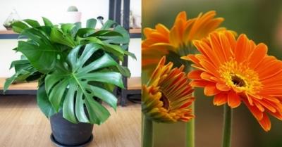 Những loại cây phong thủy trồng trong nhà giúp 'hút sạch' chất độc hại, nâng cao sức khỏe - 1